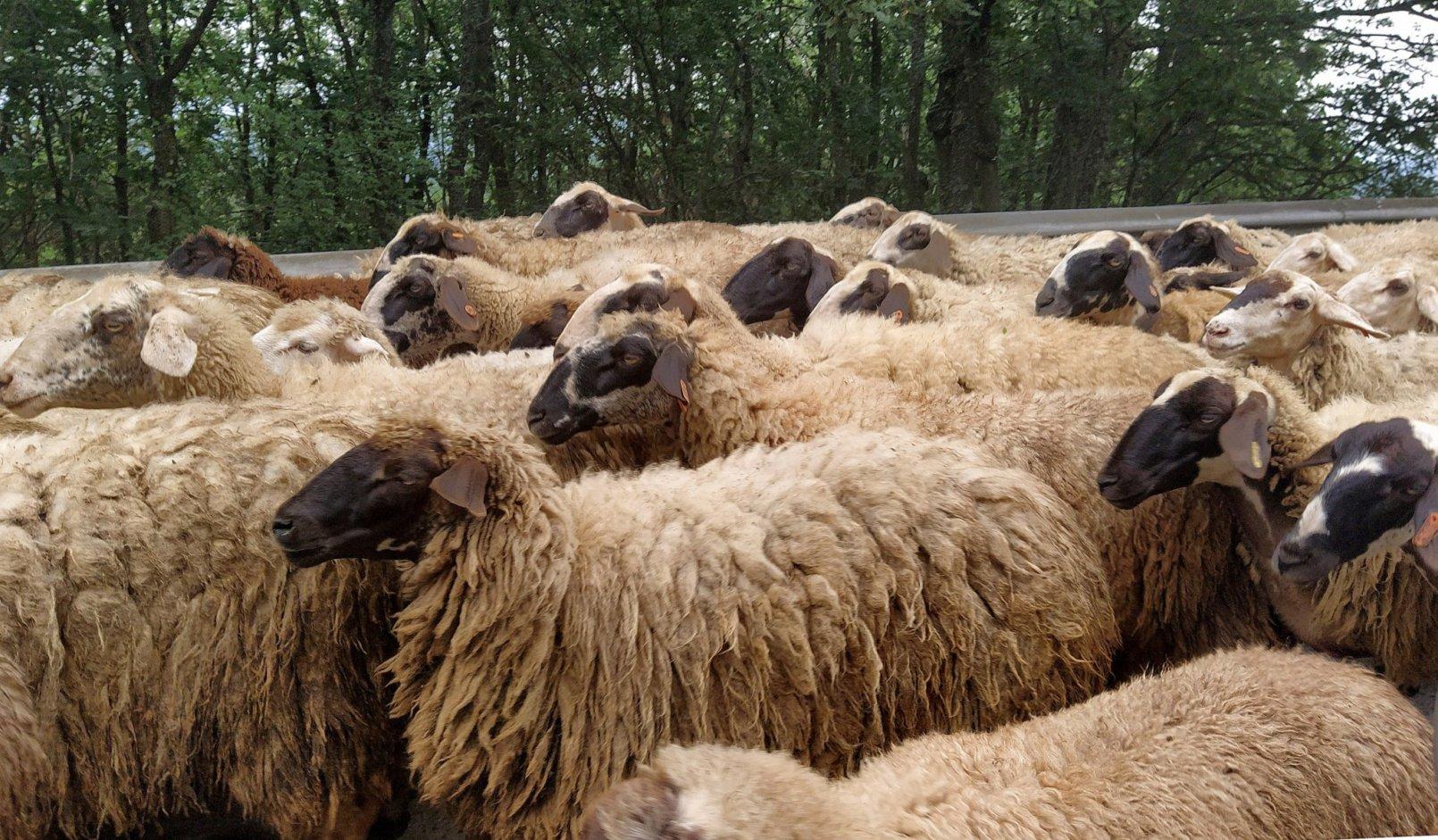 Ефектът на доминото застрашава овцевъдите в България